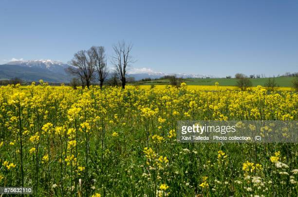 Fields of rapeseed with the Pyrenees mountain range at the background