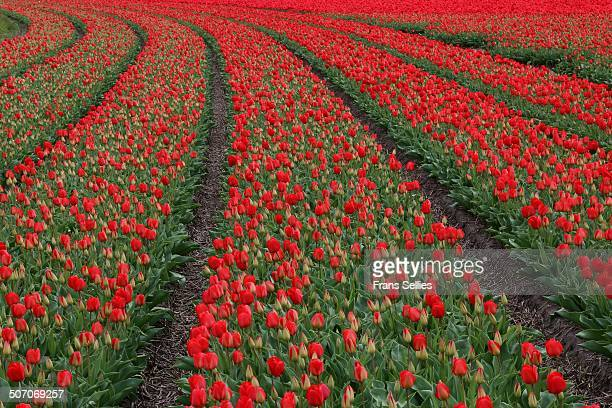 fields of red tulips - frans sellies stock pictures, royalty-free photos & images