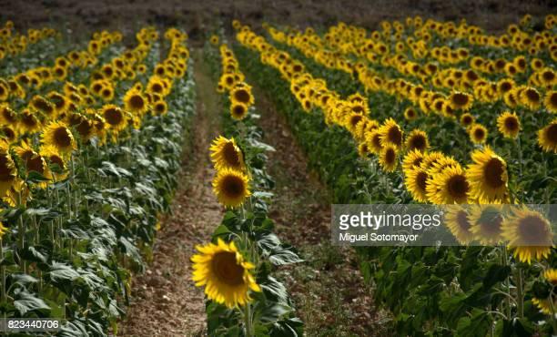 fields of sunflowerws - castilla la mancha fotografías e imágenes de stock