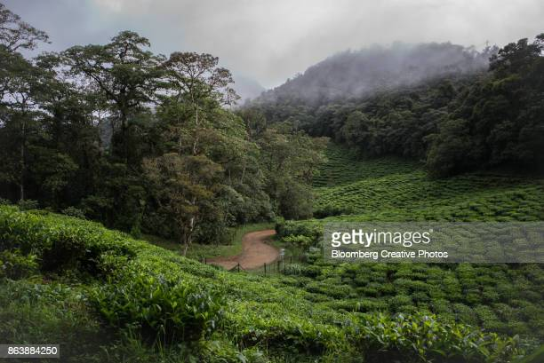 fields of tea plants in colombia - valle del cauca stock pictures, royalty-free photos & images