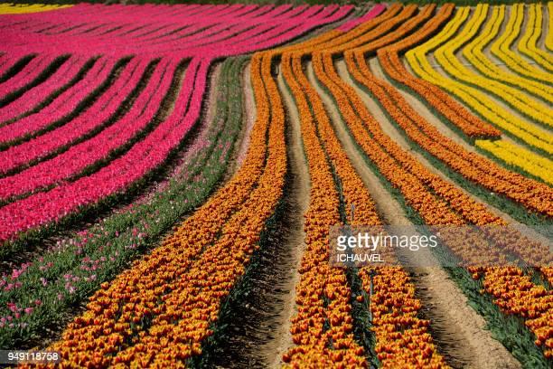 fields of tulips france - geometria fotografías e imágenes de stock
