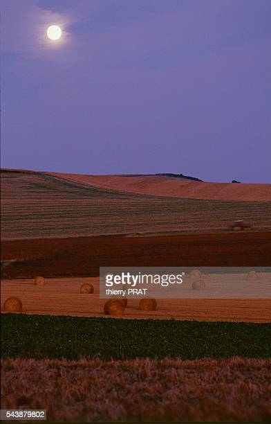 Fields of wheat during the harvest