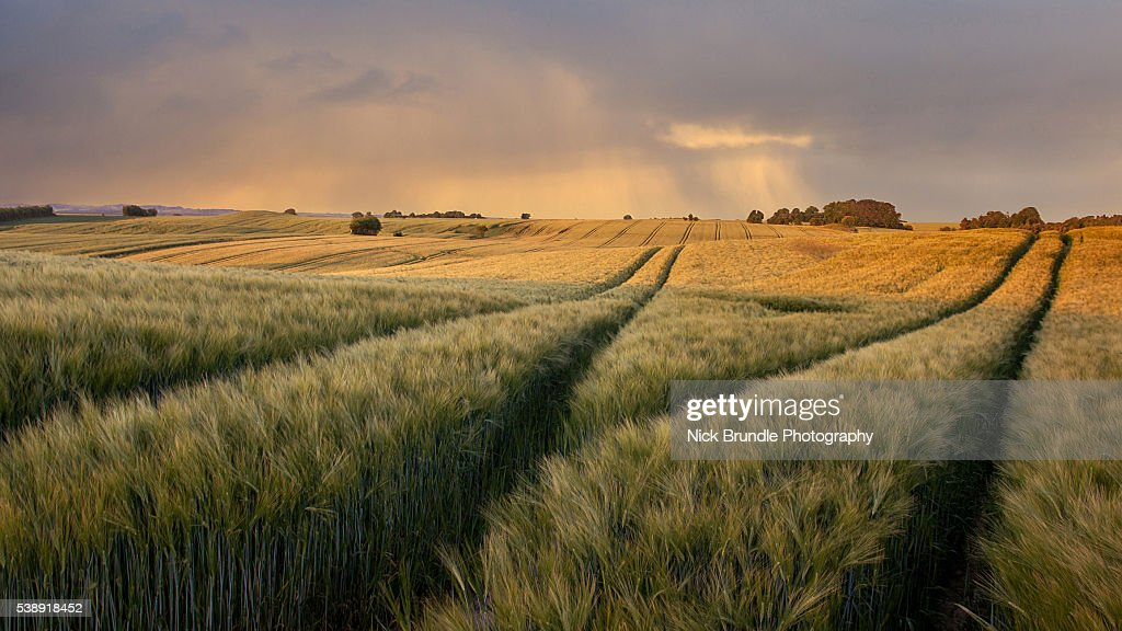 Fields Of Wheat : Stock Photo