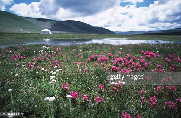 SER'UX SICHUAN CHINA Fields of wild flowers provide a picturesque front garden for a nomad tent near Ser'xu the former Tibetan Kingdom of Kham now...