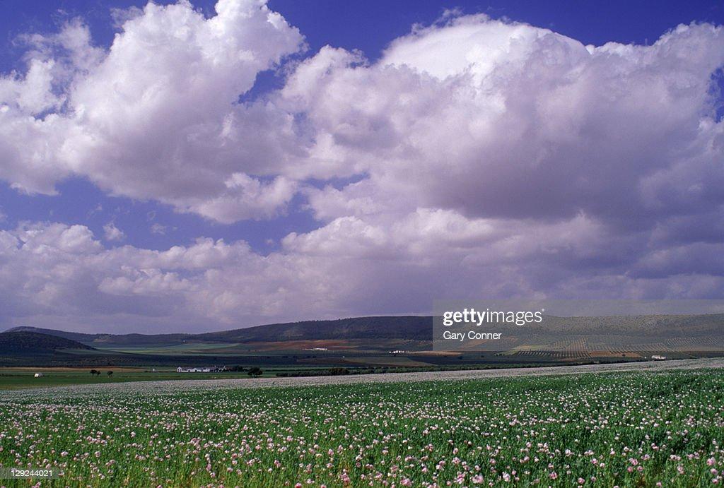 Fields of winter wheat near Antequera, Spain : Foto de stock