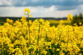 Fields with rapeseed on a sunny day. Rapeseed cultivation