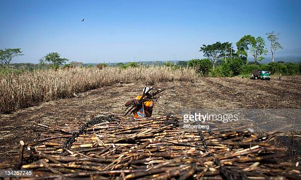 A fieldworker loads sugar cane onto a truck by hand near Retalhuleu Guatemala on Saturday Nov 26 2011 Sugar supplies will outpace demand by about 5...
