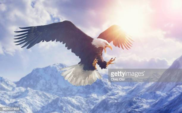 fierce eagle flying in cloudy sky over mountain range in winter - hawk bird stock photos and pictures