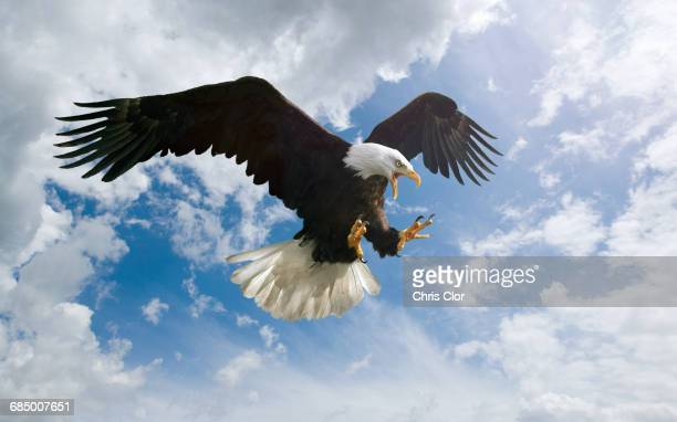 fierce eagle flying in cloudy sky - bald eagle stock pictures, royalty-free photos & images