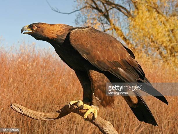 Feroz águila real