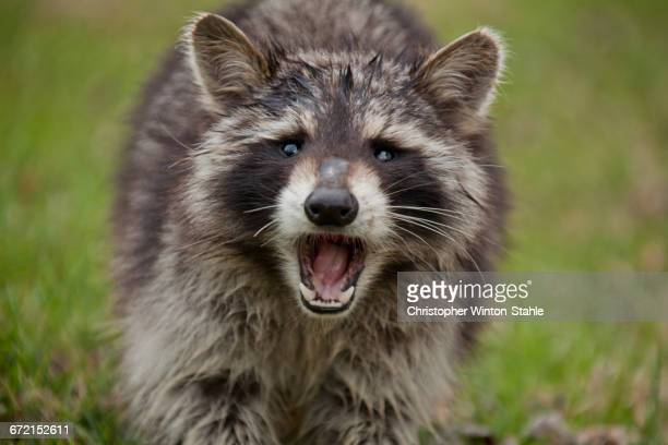 Fierce raccoon baring teeth in grass