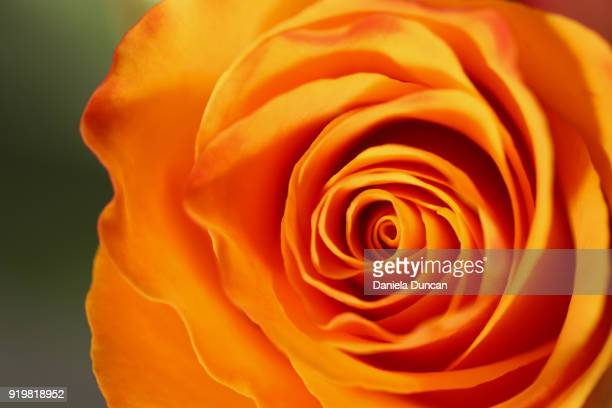 fiery rose - orange flower stock pictures, royalty-free photos & images