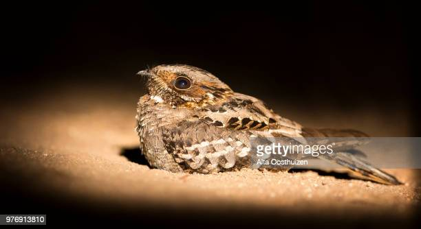 fiery-necked nightjar sitting on the ground in spotlight close-up - sabie sands nature reserve south africa - nightjar stock photos and pictures