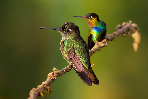 Fiery-throated Hummingbird - Panterpe insignis and Green Violet-ear - Colibri thalassinus 1127267545