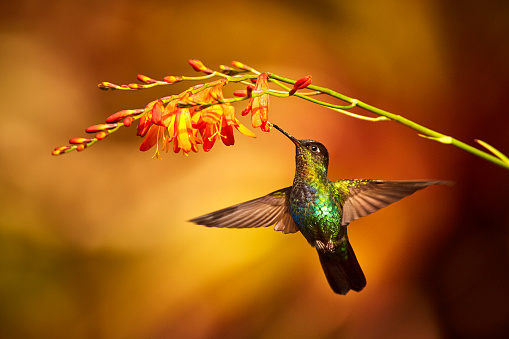 Fiery-throated Hummingbird, Panterpe insignis, shiny colour bird in fly. Bird drinks from crocosmia. Wildlife flight action scene from tropic forest. Mountain bright animal from Costa Rica 919306526
