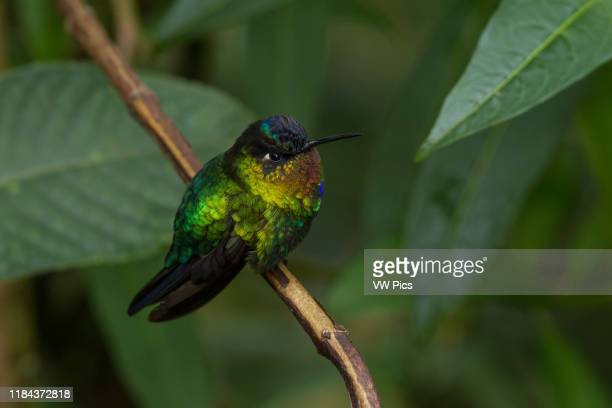 Fierythroated Hummingbird Panterpe insignis with its brilliant irridescent colors perches on a branch in the high cloud forest of the Talamanca...