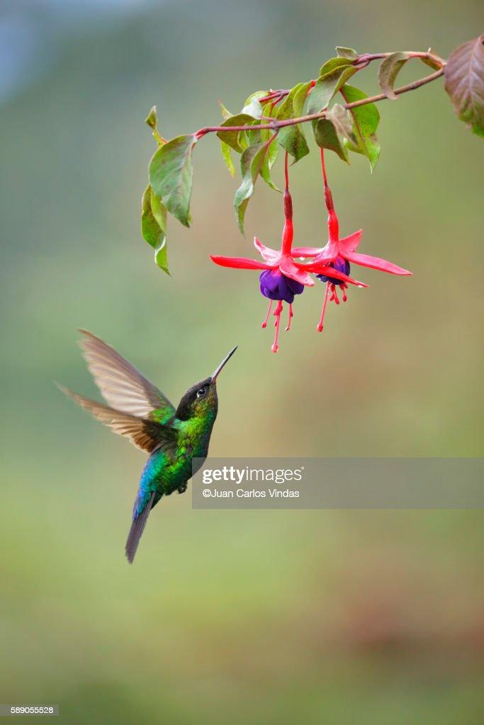 Fiery-throated Hummingbird : Stock Photo