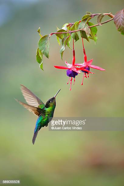 fiery-throated hummingbird - colibri photos et images de collection