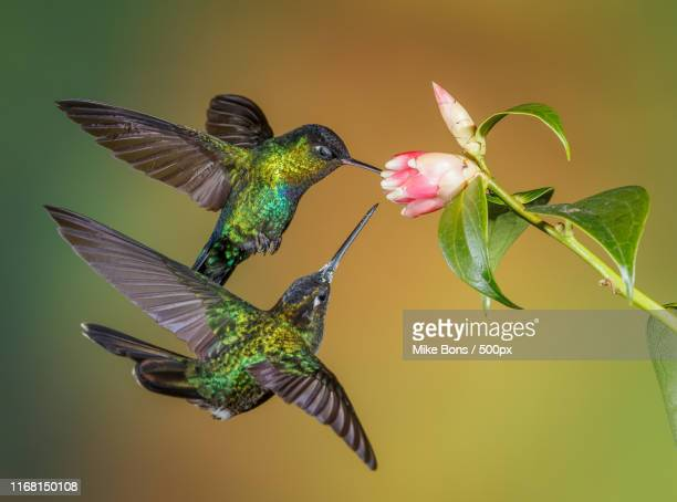 fiery-throated hummingbirds - colibri photos et images de collection