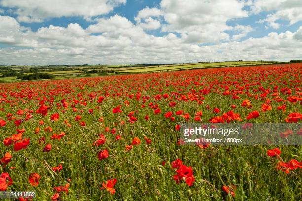 fifield poppies cotswolds - oxfordshire stock pictures, royalty-free photos & images