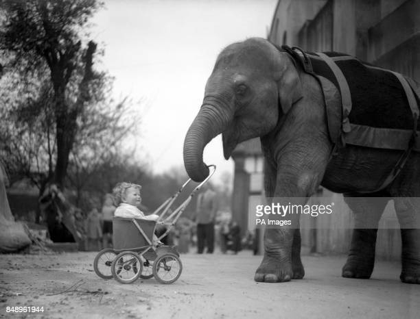 Fifteenmonthold Edward Archer of Hertford is taken for a ride in his pram by Dumbo at London Zoo