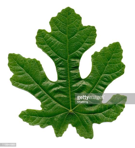 fig leaf, ficus carica - fig tree stock pictures, royalty-free photos & images