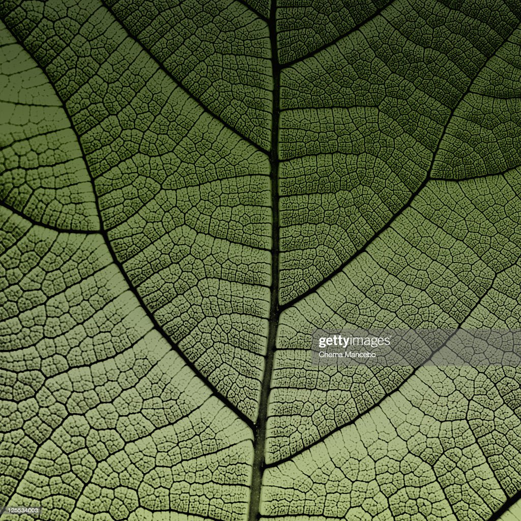 Fig leaf : Stock Photo