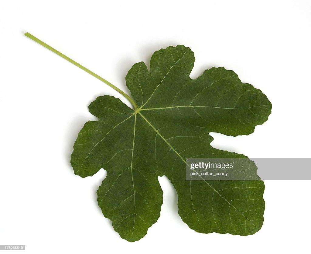 Fig leaf images 74
