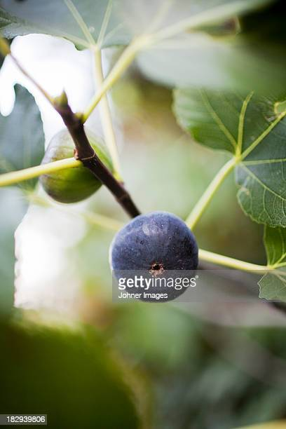Fig on twig, close-up