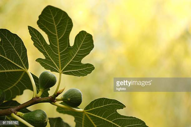 fig - fig tree stock pictures, royalty-free photos & images