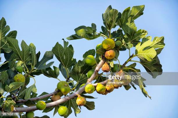 fig tree branch with fruits