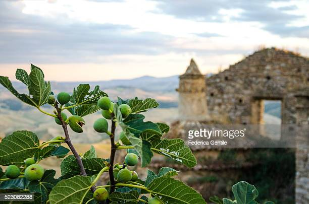 Fig tree in Craco - The ghost town