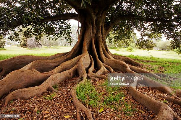 fig tree in queens park. - root stock pictures, royalty-free photos & images