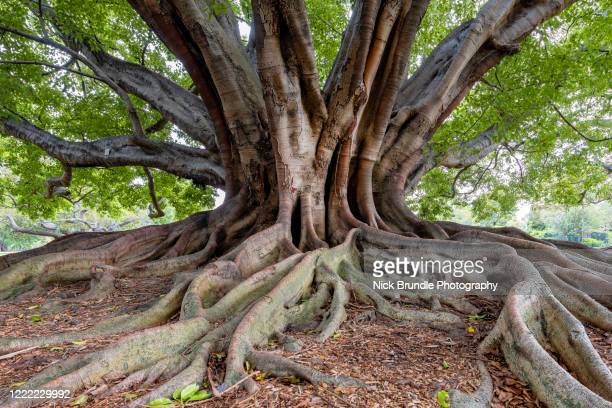 fig tree, new south wales, australia - tree stock pictures, royalty-free photos & images