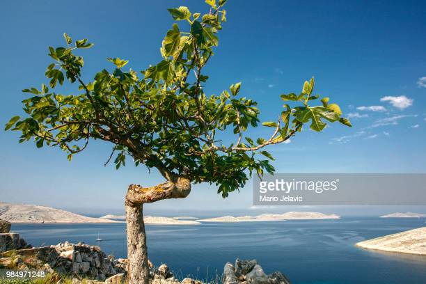 fig tree - fig tree stock pictures, royalty-free photos & images