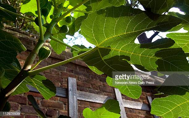 Fig trees laden with fruit grow against the brick wall enclosing the orchard behind the Governor's Palace in Williamsburg, Virginia.