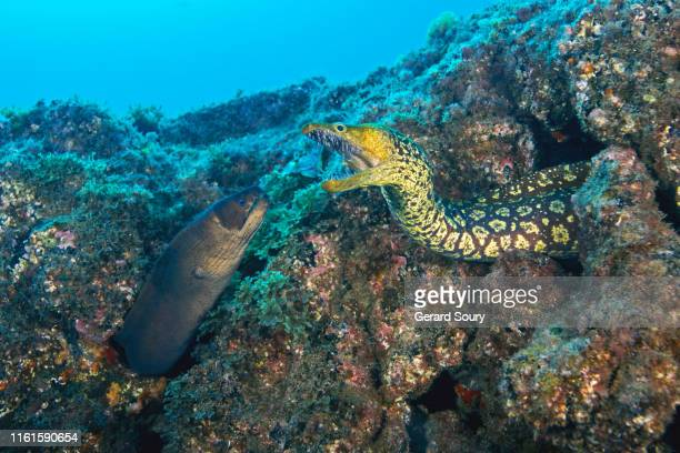 fight between two different species of moray eels - undersea stock pictures, royalty-free photos & images