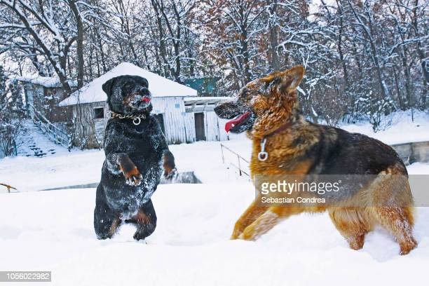 a fight between two dogs, a rottweiler and a wolf dog, animals,romania - big bad wolf stock photos and pictures