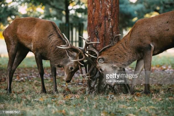 fight stags - confrontation stock pictures, royalty-free photos & images