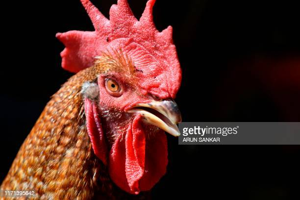 A fighter rooster looks on as being kept for sale at a livestock market in Chennai on September 27 2019