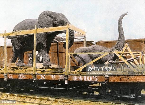Fighting African Elephants and head being moved on railroad car and train from Field Columbian Museum site to the Field Museum location in Grant Park...