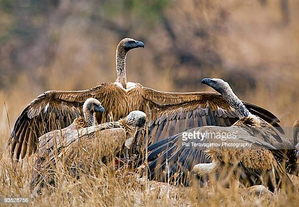 Fighting African vultures