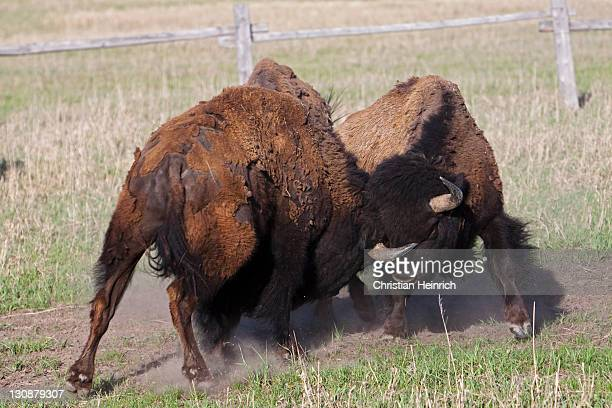 Fighting American Bisons, American Buffalos (Bison bison), Grand Teton National Park, Wyoming, America, United States