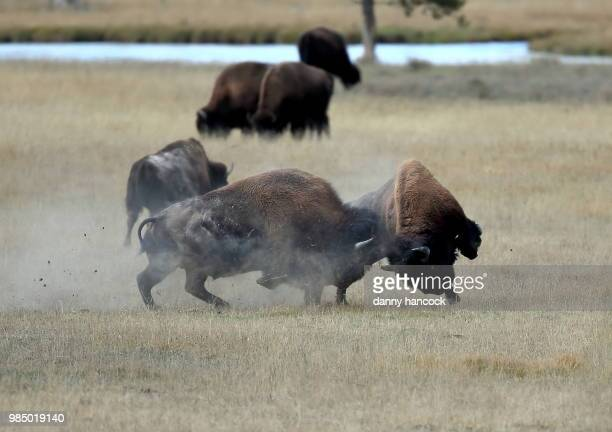 fighting bison bulls - buffalo stock pictures, royalty-free photos & images