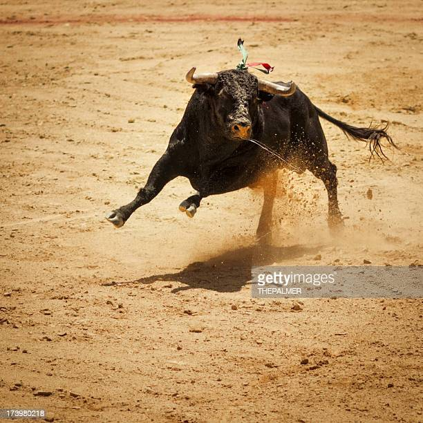 Fighting bull