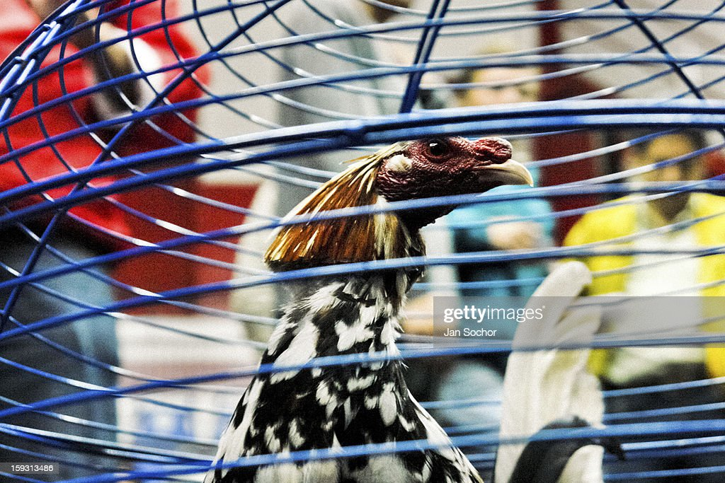 A fighting cock in the cage seen before the beginning of the match in the arena of San Miguel, Bogota, Colombia on April 07, 2006. Cockfight is a widely popular and legal sporting event in much of Latin America. The fight is usually held in an arena (gallera in spanish) with seats for spectators. There is always gambling involved in cockfights. People take advantage of cock's natural, strong will to fight against all males of the same species. Birds are specially bred to increase their aggression and stamina, they are given the best of food and care. The cocks are equipped with tortoise-shell made gaffs tied to the bird's leg. The fight is not intentionally to the death but it may result in the death of cocks very often.