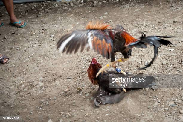 Fighting cocks jump at each other kicking out with the curved knives attached to their feet at San Andres Bukid on April 12 2014 in Manila...