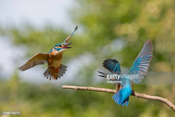 fighting common kingfisher birds - territory stock pictures, royalty-free photos & images