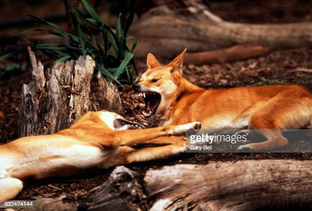 Fighting dingos, Australia