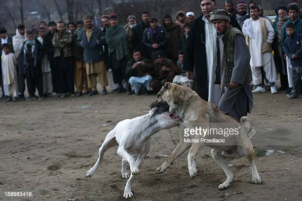 Fighting dogs. December 2011, Paghman, Afghanistan. Dog fights is a very popular sport and hobby in Afghanistan, one that involves massive Mastiffs...